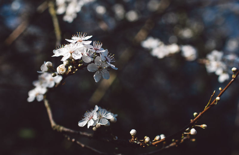 Flower Flowering Plant Plant Fragility Beauty In Nature Vulnerability  Growth Freshness Close-up White Color Nature Focus On Foreground Day Tree Selective Focus No People Blossom Petal Branch Springtime Outdoors Flower Head Cherry Blossom Cherry Tree Pollen