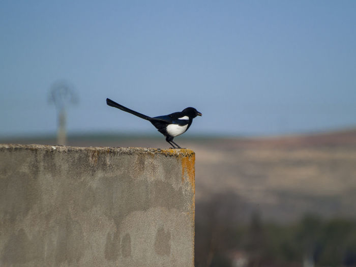 EyeEm Best Shots EyeEmNewHere Magpie Bird Nature Spreading Wings Wildlife & Nature Animal Themes Animal Wildlife Animals In The Wild Bird Bird Watching Environment Fauna Focus On Foreground Jay Magpie Nature No People One Animal Perching Perching Bird Pica Pica Retaining Wall Wildlife