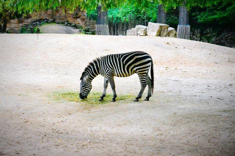 Hannoverzoo Zoo Animals  Zoo Day One Animal Animal Themes Safari Animals Animal Markings Nature Zebra Зебра Зебра зоопарк