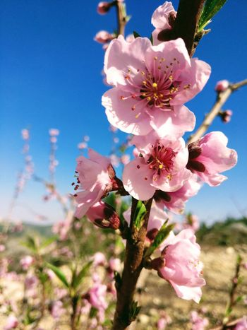 Flower Nature Pink Color Beauty In Nature Tree Blossom Almond Tree Spring Blossom Outdoors Almond Fragility Growth Petal Close-up Springtime Freshness Sky Flower Head Pink Flowers Pink Almond Flowers