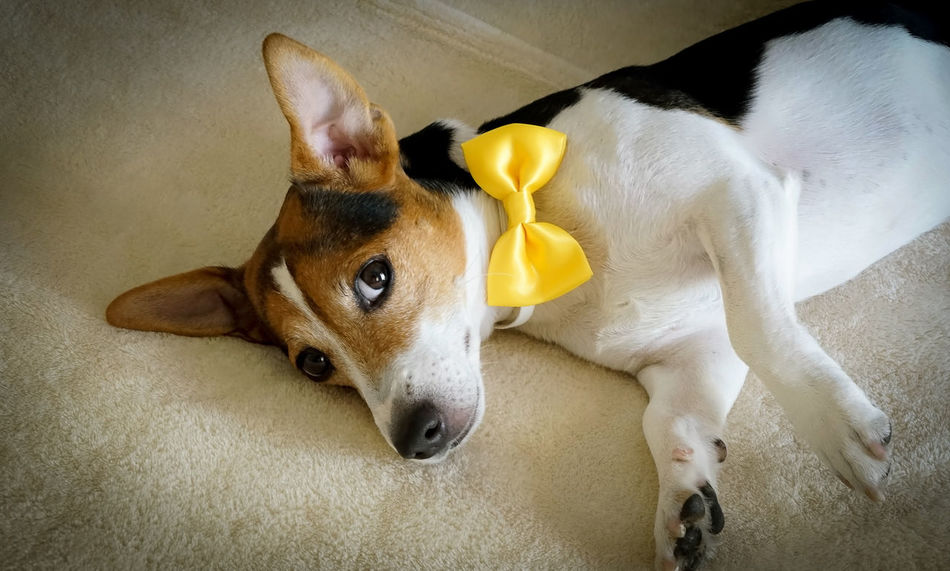 Celebration Event Day Dog Dogs Happy Birthday Indoors  Jack Russell Jack Russell Terrier Looking At Camera Lying In Bed Mammal No People One Animal People Pet's Birthday Puppy Tricolor Yellow Bow