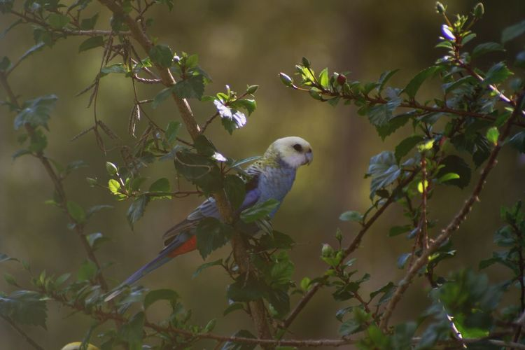 Pale-crested Rosella Rosella Parrot Australia Bird Photography Canon Photography Rosella Animal Themes Animal Animal Wildlife Vertebrate Animals In The Wild Tree One Animal Perching Plant Bird Branch Nature Parrot Plant Part Leaf Day No People Growth Green Color Outdoors