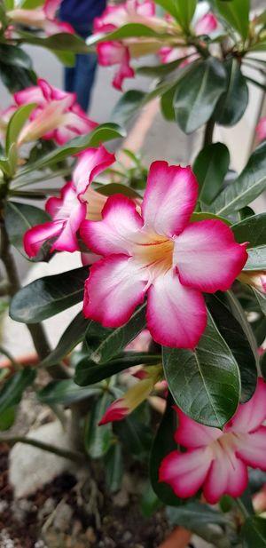 Flower Head Flower Pink Color Petal Leaf Close-up Plant