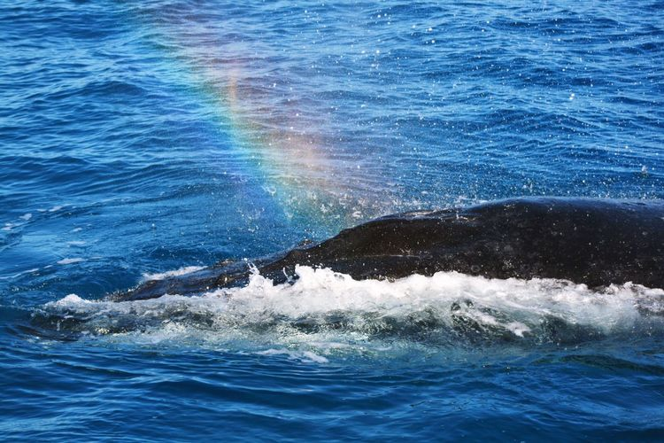 Rainbow Wildlife Whale Wildlife Photography Australia Canon Photography Nature Photography Humpback Whale Water Sea Beauty In Nature Waterfront Motion Nature No People Day Outdoors Splashing High Angle View Wave Blue Scenics - Nature