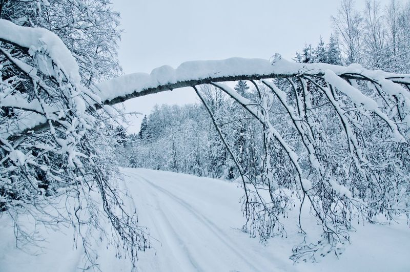 Russian winter Tiretracks Fallen Tree Tree Snow Snowing Cold Temperature Winter Forest Spruce Tree Polar Climate Snowcapped Mountain Frost Fir Tree Pinaceae Pine Woodland Deep Snow Evergreen Tree Wilderness Area