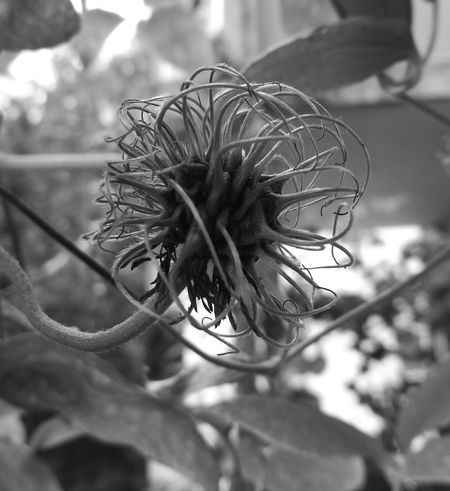 Plant Autum Close-up Beauty Of Nature Nature Clematis, Flower No People Nakednature