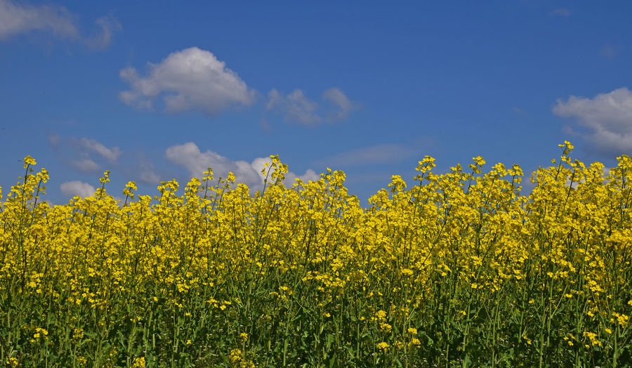 Close-up of yellow flowering plants in field against sky