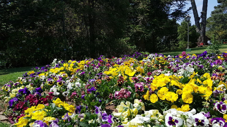 #flores #cores #diadesol #perfume #vidaéalegria #flowers #colors #sunny day #good smell #life is joy Flower Head Flower Tree Multi Colored Flowerbed Yellow Park - Man Made Space Springtime Petal Blooming