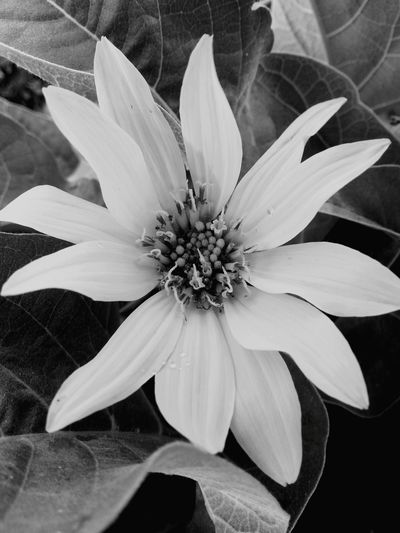 Flower Petal Flower Head Beauty In Nature Plant Outdoors Blossom Nature Close-up Black And White Collection  Black & White Photography Wyoming USA Day Growth Freshness