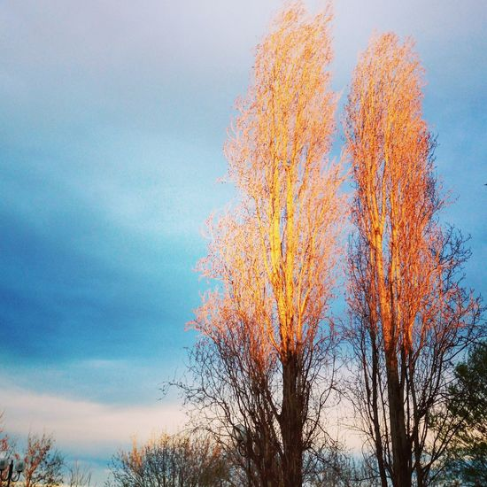 Sunlight Autumn Bare Tree Beauty In Nature Day Illuminated Low Angle View Nature No People Outdoors Poplars Scenics Sky Sun Tranquil Scene Tranquility Tree