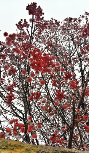 Rowan Red Walking Around The City  First_snow Wintertime Showing Why I Could Be An Open Editor Taking Photos Pastel Open Edit Streetphotography Snow ❄ Ukraine Let's Do It Chic! Ice Trees Tree_collection  Life In Colors