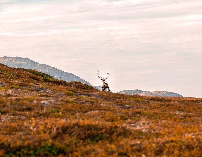One reindeer with large antlers looking the camera against a scenic mountain backdrop