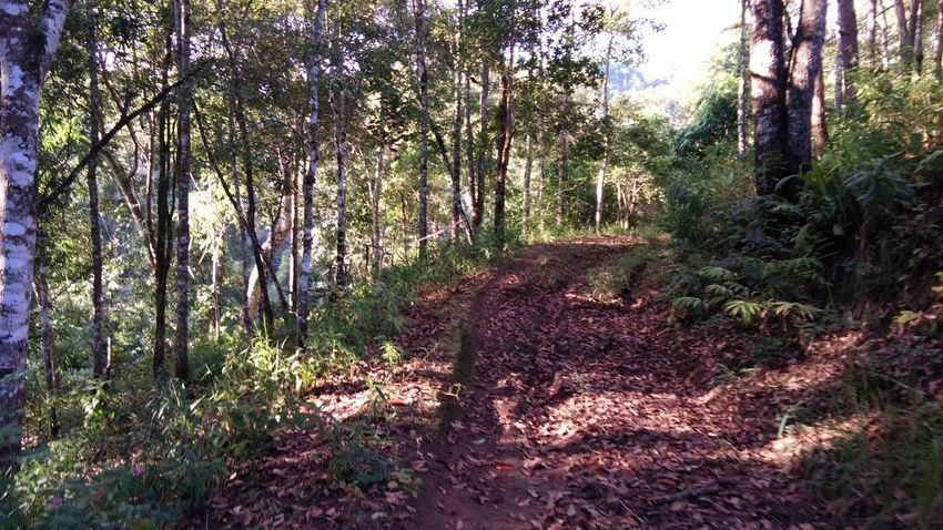 Tree Nature Forest Beauty In Nature Landscape Mountain Day Thailand🇹🇭 Mae Salong Chiang Rai, Thailand Outdoors Trail Running MST2017