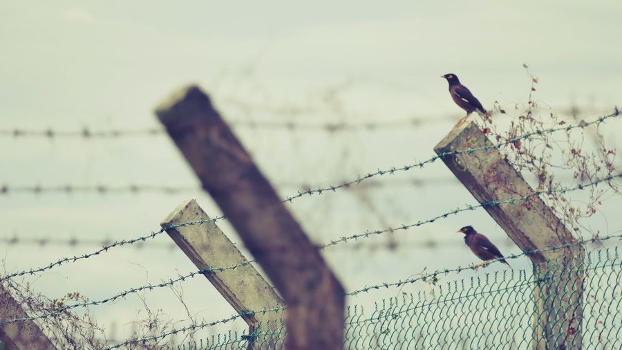 They dont care.. Bird Perching Animal Themes Danger Prison Metal Chainlink Fence Barbed Wire Nature Freedom Outdoors