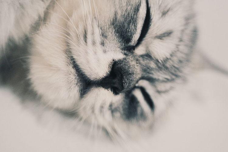 EyeEm Selects EyeEmBestPics Mood Illustration Cute Cute Pets Pets Feline Domestic Cat Close-up Tabby Cat Cat Kitten Persian Cat  Siamese Cat Sleeping Animal Hair At Home