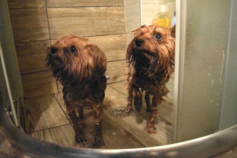 Dog Pets Animal Wet Domestic Animals Animal Themes Domestic Bathroom No People Water Indoors  Bathroom Yorkie Yorkies YorkieBestShots Dogslife EyeEmNewHere The Portraitist - 2017 EyeEm Awards Pet Portraits