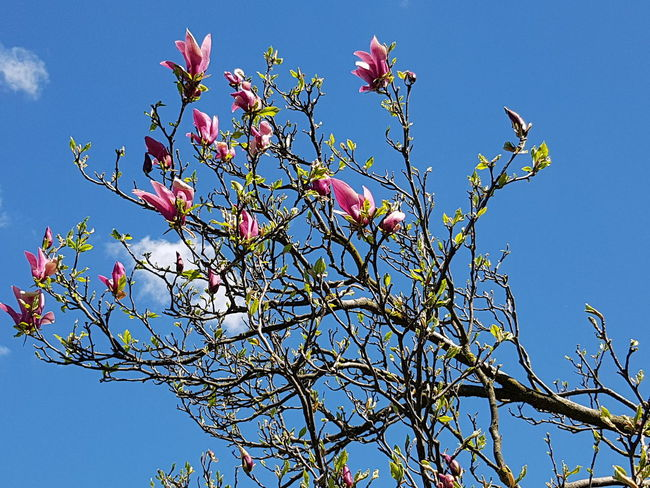 Good morning friends!🌞 Magnolia Magnolia Tree Magnolia_Blossom Eye4photography  EyeEm Gallery EyeEm Nature Lover EyeEm EyeEmBestPics Have A Nice Day♥ Good Morning Treescollection Trees And Sky Trees And Nature Tree Flower Branch Springtime Cultures Blossom Blue Sky In Bloom Blooming