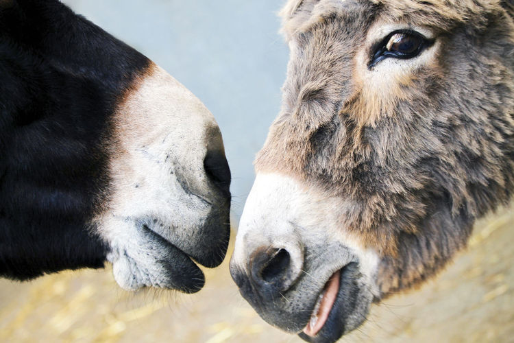 Two donkeys heads close together. Donkeys Love Animal Animal Body Part Animal Family Animal Head  Animal Themes Animal Wildlife Close-up Day Domestic Domestic Animals Donkey Focus On Foreground Group Of Animals Herbivorous Livestock Mammal Nature No People Outdoors Pets Togetherness Two Animals Vertebrate