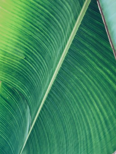 Leaf Costarica Green Color Backgrounds Leaf Plant Part Full Frame Close-up Pattern No People Textured  Leaf Vein Natural Pattern Beauty In Nature Nature Plant Outdoors Extreme Close-up Freshness Striped Macro Growth
