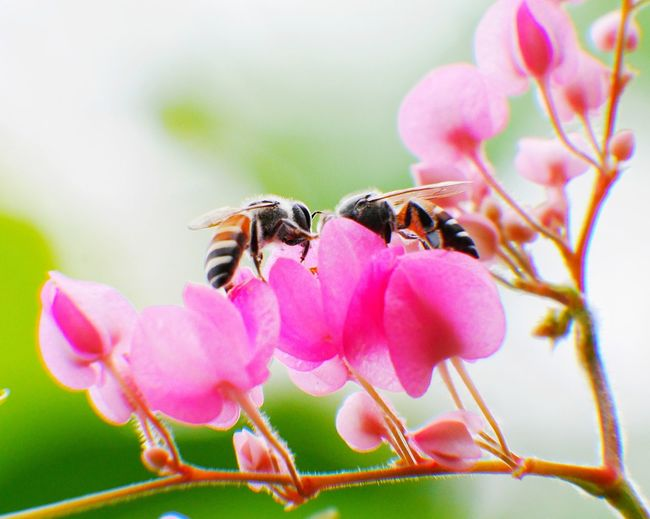 Close-up of bee on pink flowers
