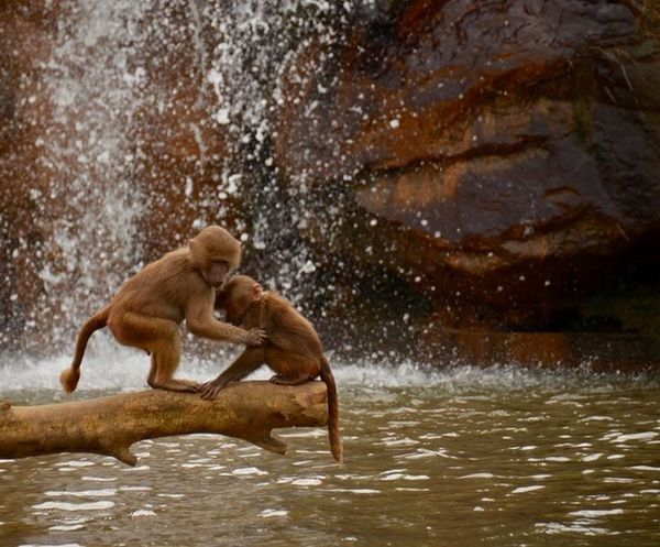 Beekse Bergen Mammal Animal Wildlife Animals In The Wild Water Primate Vertebrate Nature