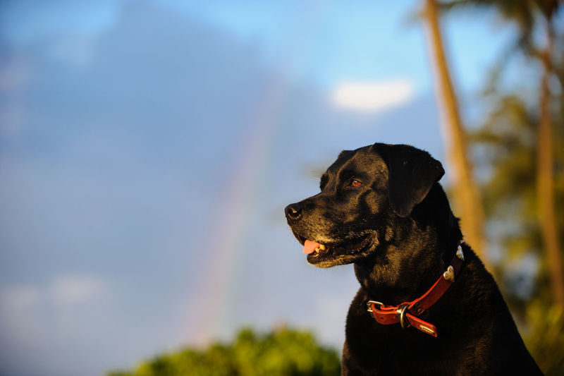 Black Labrador Retriever dog portrait with rainbow in the background Dog Canine One Animal Pets Domestic Animal Themes Looking Away Animal Labrador Retriever Black Color Looking Nature Outdoors Pet Collar No People Day Animal Head  Purebred Dog Domestic Animals Black Labrador Black Lab Black Labrador Retriever Labrador Rainbow Sky Tropical Climate Hawaii