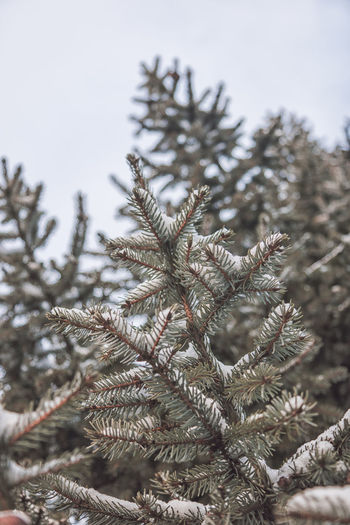 Plant Tree Winter Close-up No People Cold Temperature Focus On Foreground Nature Branch Growth Beauty In Nature Day Snow Pine Tree Frozen Selective Focus Tranquility Coniferous Tree Fir Tree Outdoors Needle - Plant Part