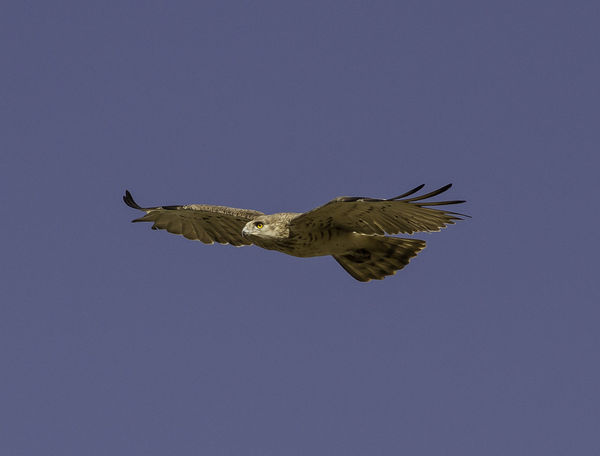 Animal Wildlife Bird Bird Of Prey Bird Photography Circaetus Gallicus Eagle European Birds Flying Nature Nature Photograhy Nature Photography No People One Animal Short-toed Eagle Spread Wings Western Palearctic