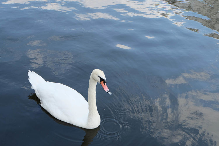 Close-up of swan in water