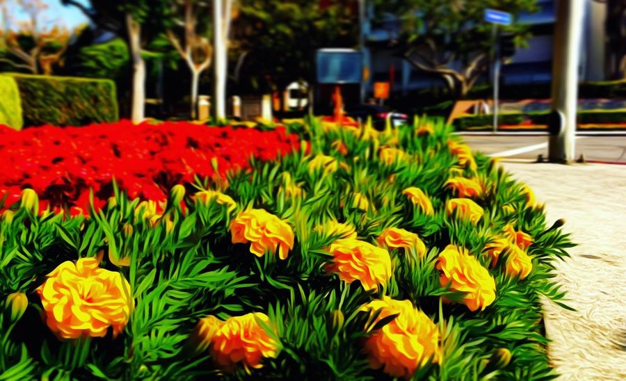(/) Fallacy (\) Flower Freshness Fragility Beauty In Nature Focus On Foreground Flowerbed Vibrant Color Outdoors Painting Oil Painting Picsart USC  California Losangeles Los Angeles, California Multi Colored Day Blossom Beautiful Sunlight Experimental Lightroom ShotOniPhone6 Park Grass