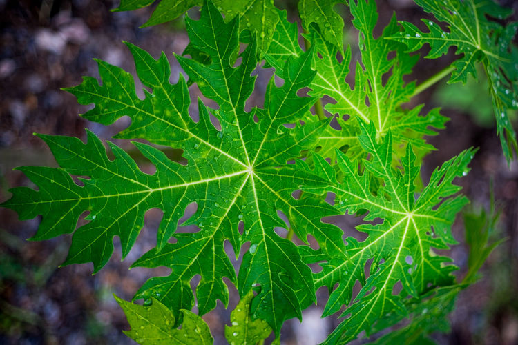 Top view of green leaves with water drop in vignette effect. Raindrops Vignette Wonderful Beauty In Nature Freshness Front Focus Green Color Growth Leaf Maple Nature Outdoors Plant Plantation Soft Focus Surface Level Tin Top View