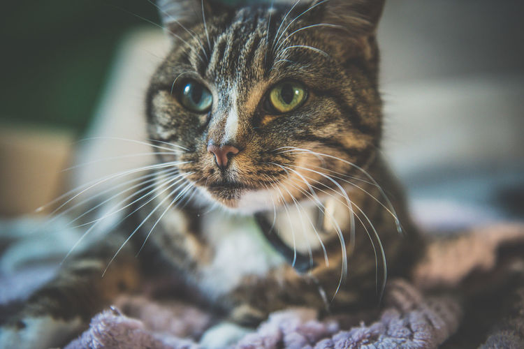 Animal Themes Close-up Day Domestic Animals Domestic Cat Focus On Foreground Indoors  Mammal No People One Animal Pets Whisker Pet Portraits