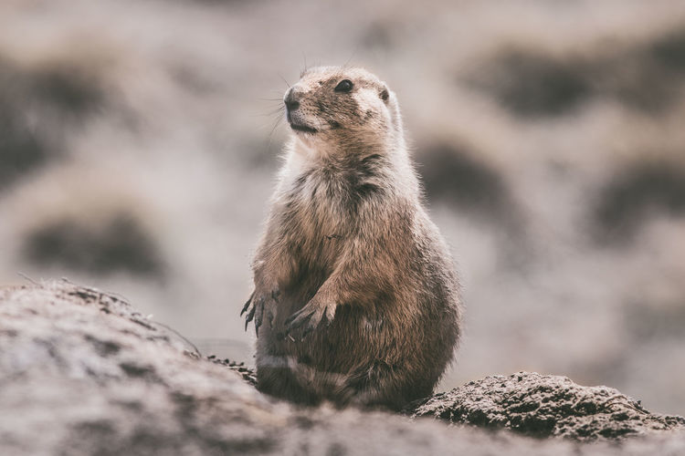 Animal Wildlife Animals In The Wild Day Looking Looking Away Mammal Nature No People One Animal Outdoors Rock Rock - Object Rodent Selective Focus Solid Standing Vertebrate