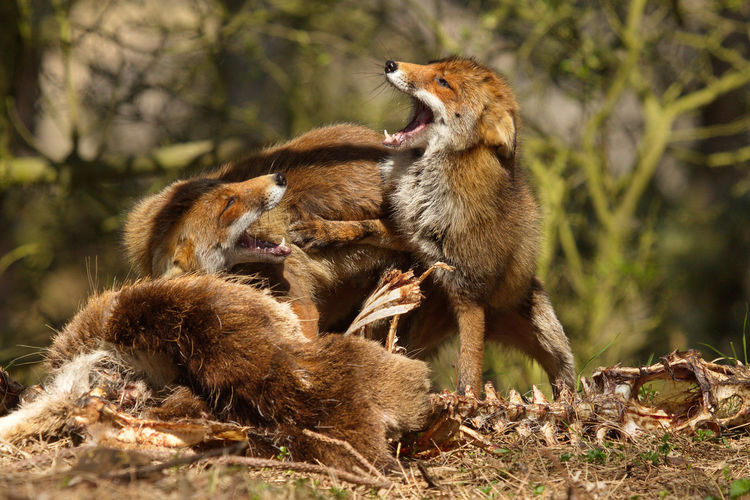 Foxes fighting by bones on field
