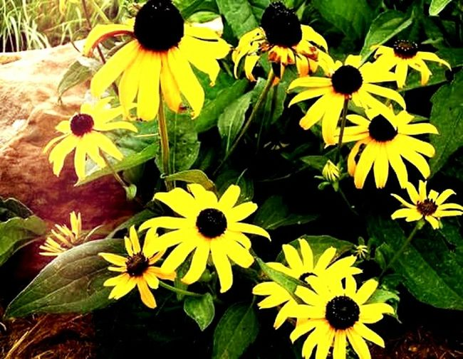 Flowers,yellow,contrast Flower Yellow Beauty In Nature Petal Nature Growth Green Color Fragility Day Plant Freshness No People Outdoors Flower Head Black-eyed Susan Close-up