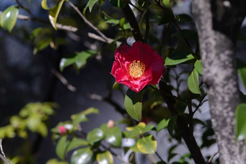 Camellia EyeEm Nature Lover Nikkor60mm Flower Collection EyeEm Flower TheMinimals (less Edit Juxt Photography) Eye4photography  Streamzoofamily Getting Inspired