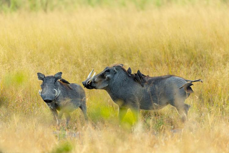 Warthogs on grassy field