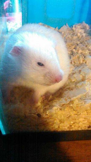 He's a cutie Hamster Cute Pets