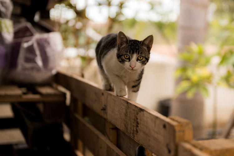 cat walking on top of the woden fence looking in the camera Looking At Camera Wooden Fence Cat Cat On The Fence Domestic Animals One Animal Tabby Cat Village Life Walking