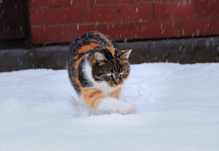 Portrait of cat on snow during winter