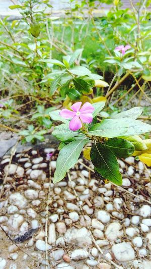 Flower Nature Fragility Growth Outdoors No People High Angle View Day Beauty In Nature Flower Head Leaf Plant Close-up Freshness Lenovop70 Faculty Of Engineering Ainshams_university