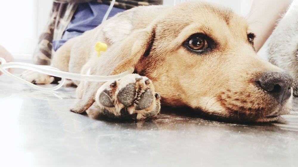 Poor baby got sick #veterinary #medicine #puppy #EyeEmNewHere #photography #hospital #animal #dog EyeEmNewHere