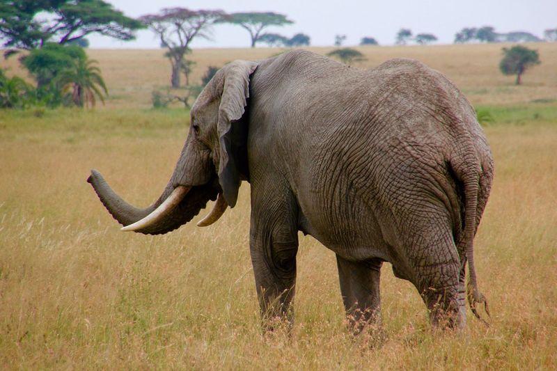 Side view of elephant calf walking on field