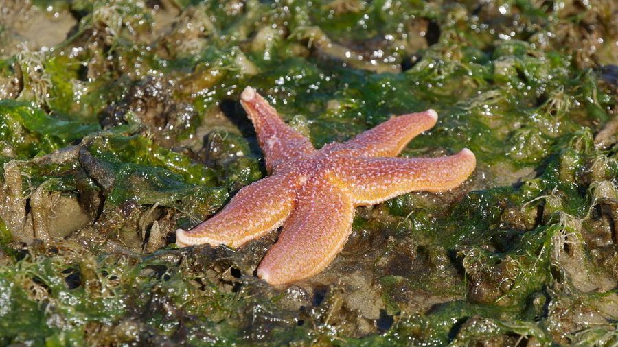 Animal Themes Animal Wildlife Beach Close-up Nature No People One Animal Sea Sea Life Starfish  In Zealand, Netherland