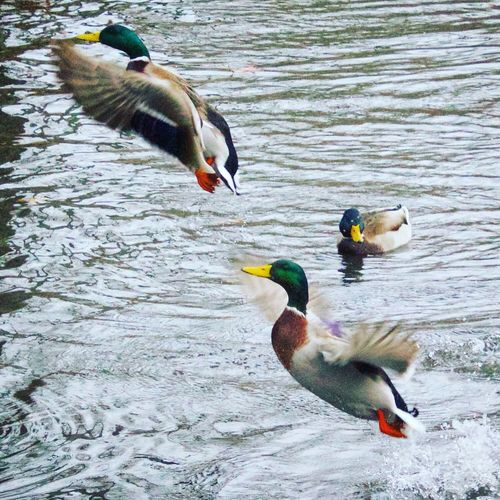 Emerging Mallards Bird Animal Themes Animals In The Wild Lake Nature No People Beauty In Nature Close-up Water Outdoors Day Ducks