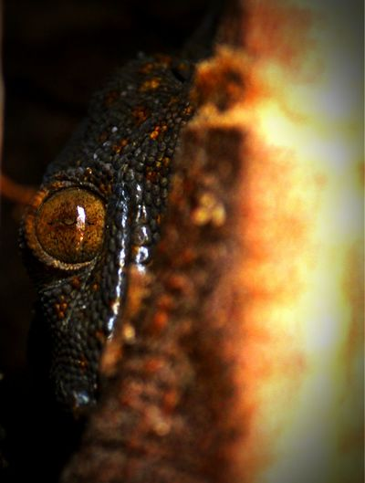 Amazing World Of Herps Reptiles Herps Herpetology Gecko LizardThe Dark World Arises Tokay Gecko Black Morph Lizard Eye Gecko In The Dark Gecko Lizard Gecko Eye Inside The Dark