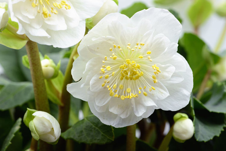 white hellebore flower blooming Hellebores Helleborus Helleborus Niger Blooming Blooming Flower Blossom Flower Flower Head Focus On Foreground Freshness Growth Hellebore Leaf Nature Petal Plant White White Color