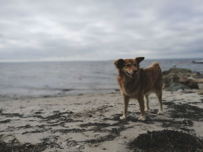 Dog Standing On Sand At Beach Against Sky