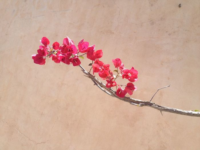 Taken in Ibiza in the Summer Beautiful Pink Bougainvillea Nature Flowers Inbloom Colour