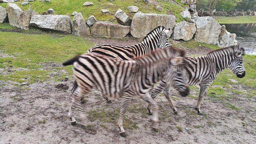 Zebra Striped Animals In The Wild Animal Wildlife Animal Themes Day Nature Outdoors Mammal No People Safari Animals Full Length Grass Serengeti-Park, Hodenhagen EyeEm Selects